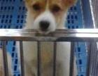 北京什么地方有狗场卖柯基犬/哪里有卖柯基犬