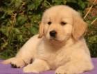 哪里有金毛出售 养殖场出售各种狗狗 可上门挑选