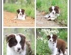 边境牧羊犬幼崽 疫苗2齐全包三个月退换 一年包治