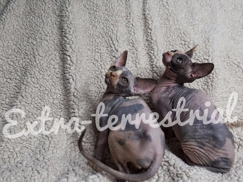 斯芬克斯无毛猫咕噜猫比鲁斯猫三花妹妹