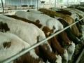 大量出售品种肉牛牛犊
