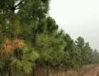 余店 马尾松400亩山林