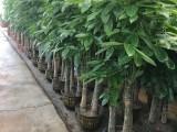 深圳龙岗花草苗木出售 园林绿化养护