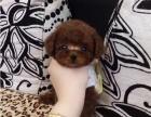 超萌纯种泰迪幼犬-- 健康保障 --签订活体协议