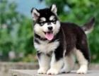 阿拉斯加雪橇犬,骨骼大,毛色好,健康保证