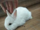 垂耳猫猫侏儒兔,品相好,价格实惠。