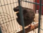 养了一年的福安本地八鸽会说话了