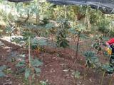 七叶一枝花种苗 独角莲 提供种植技术