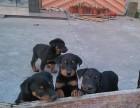 高品质双血统杜宾幼犬 驱虫疫苗已做 现场实拍可签购犬协议