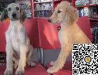 纯种阿富汗猎犬狗狗出售