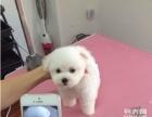上门优惠,家养纯种贵宾狗狗出售家养纯种韩国血统的贵