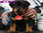 宠物店和狗市里的罗威纳可以买吗 健康的多少钱一只