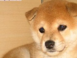 纯日系血统柴犬,种犬全部国外引进幼犬多只可挑选包纯