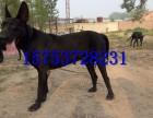 黑狼犬多少钱一只,哪里出售黑狼犬幼犬,纯血黑狼犬价格
