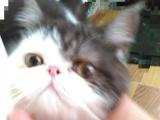 加菲猫小公子五个月活波乖巧