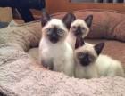 专业猫舍 长期出售 纯血统 暹罗猫 签协议 质保 可亲选送货