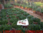 营养钵茶梅长期供应