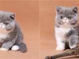 重庆哪里加菲猫幼崽的重庆加菲猫多少钱一只重庆哪有里宠物店