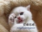 荣峰名猫 银点预订