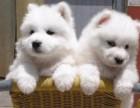 东莞本地狗场直销 纯种萨摩耶幼犬 包健康包三个月签协议