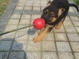 德国牧羊犬哪有卖的/宠物店狗市在哪里