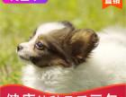 本地出售纯种蝴蝶幼犬,十年信誉有保障