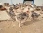 鸵鸟苗出售 全国各地均可发货
