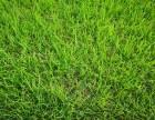 成都高爾夫果嶺草批發 耐踐踏四季常青黑麥草百慕大混播草皮