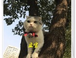 上海广州深圳北京美短猫多少一只 淘宝搜:双飞猫