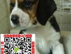 泉州比格宠物狗出售转让 比格狗舍多少钱 买卖比格幼犬