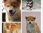 精品繁殖纯种双血统 巨型阿拉斯加雪橇犬 售 各种 常见犬种