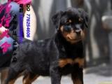 双血统罗威纳幼犬 ,可 签署保证协议