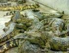 鳄鱼 泰国活鳄鱼基地直销 观赏食用均可 营养美味