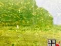 18年锦鲤养殖场纯种锦鲤水花苗种预订中