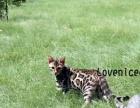 出售高品质孟加拉豹猫宝宝 一金一银