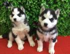 本地出售包健康纯种 三火哈士奇犬 协议有保障 公母多只可选