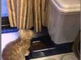 3个月大的折耳猫找新家--想找个有爱心的人领养