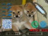 纯种日本柴犬 肉嘟嘟 疫苗齐全 支持送货 签协