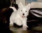 西安那里有西高地犬卖 西安西高地犬价格 西安泰迪犬多少钱