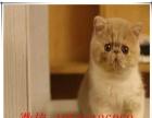 正规实体店出售纯种健康的加菲猫宝宝 可送上门挑选