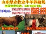丰县养牛场-低价急售小肉牛犊