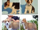 深圳本地出售世界各类名犬 支持上门看狗加微信有折扣