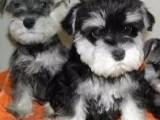 纯种迷你雪纳瑞幼犬 疫苗驱虫齐包品质健康三个月