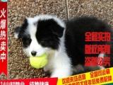 世界上排名第一的边境牧羊犬白金汉宫血统的幼犬