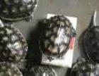 长期出售中华草龟,巴西龟,台湾绿线草龟,花龟