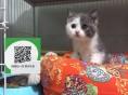 楚雄哪里有宠物猫出售,楚雄哪里有卖纯种蓝猫价格