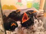 出售越南鹩哥 和尚鹦鹉 亚历山大鹦鹉 小太阳 金太阳鹦鹉