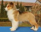 成都出售2 4個月幼犬(喜樂蒂)疫苗齊簽協議