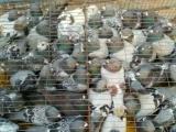 长期批发北方鸽子 散养野鸡