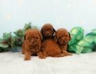 成都出售高品質純種幼犬泰迪寵物狗血統純正包健康
